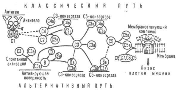 Схема активации комплемента.