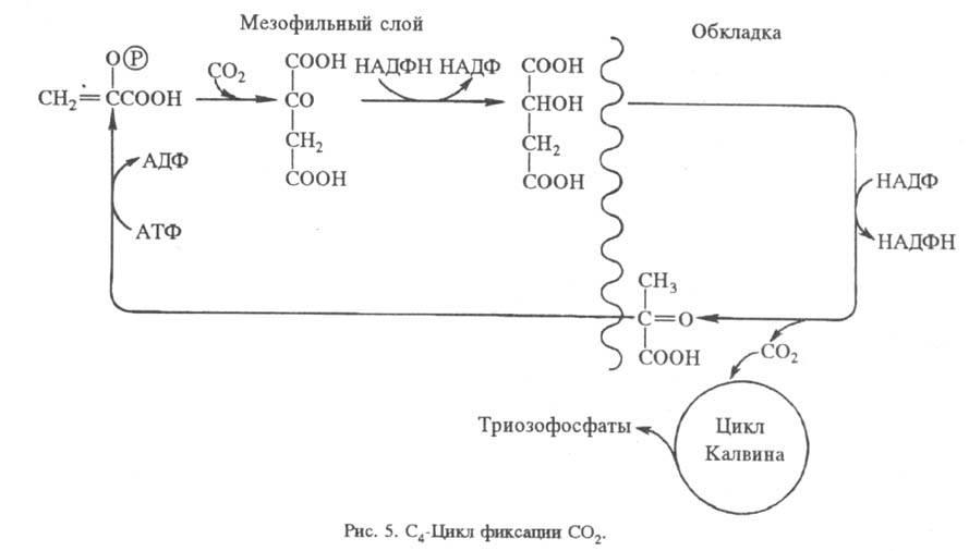 Упрощенная схема цикла показана на рис. 4. Первая стадия - карбоксилирование рибулозо-1,5-дифосфата и гидро лиз...